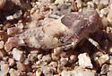 grasshopper nymph - Cibolacris parviceps