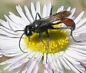 wasp - Podalonia