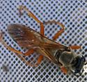 Orange and black sphecid on Sisymbrium loeselii - Sphex ichneumoneus - female