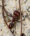 Pogonomyrmex badius - female
