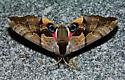 Baboon moth - Smerinthus cerisyi