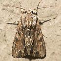 Confused Woodgrain Moth - Hodges #10521 - Morrisonia confusa