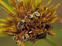 Bee aggregation - Halictus poeyi - male