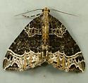 Ecliptopera silaceata - Small Phoenix Moth 7213 - Ecliptopera silaceata