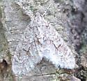 Cladara limitaria - Mottled Gray Carpet - Cladara limitaria