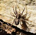 lycosidae sp. - Schizocosa