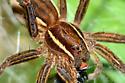 unidentified web spider macro - Ken Whillans RMA, Caledon, Ontario - Dolomedes