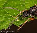 Hymenoptera - Formica