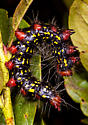 Major Datana or Azalea Caterpillar, Datana major - Datana major
