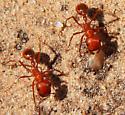 Pogonomyrmex - Pogonomyrmex maricopa - female