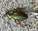 beetle - Carabus auratus