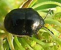 Bug or Beetle? - Corimelaena