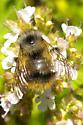 Bumblebee Species 1a - Bombus