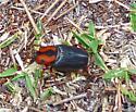 Red and black beetle - Rhynchophorus cruentatus