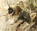 Which bee please. - Bombus rufocinctus - male
