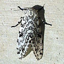 Moth with unusual markings - Hypercompe scribonia
