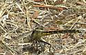 Dragonfly - Phanogomphus kurilis - female