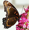 Butterfly ID please - Limenitis arthemis