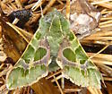 Pacific Green Sphinx Moth - Proserpinus lucidus - male
