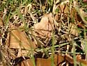 Moth - Eutrapela clemataria