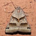 Moth 09.07.18 (4) - Caenurgina erechtea