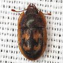 Sap-feeding Beetle  - Prometopia sexmaculata