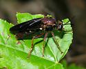 unknown fly - Ceraturgus elizabethae