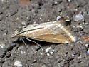 Microtheoris? - Microtheoris ophionalis