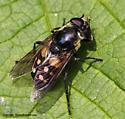 Syrphid Fly - Sericomyia lata - female