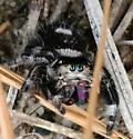 Cute jumping spider - Phidippus regius