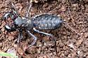 Vinegaroon - Mastigoproctus giganteus