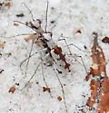 Ellipsoptera hirtilabris?  - Ellipsoptera hirtilabris - male - female