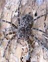 What Spider? - Dolomedes tenebrosus