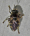 Microdon sp - Microdon
