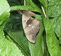 Large Grey Moth - Antheraea polyphemus