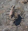 Coastal tiger beetle - Ellipsoptera hamata