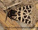 3025185 tiger moth