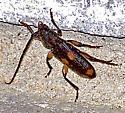 Tylonotus bimaculatus. - Tylonotus bimaculatus