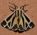 Apantesis nais – Nais Tiger Moth  - Apantesis nais