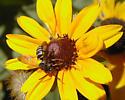 Parasitic Bee 1