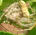 Difficult Pregnancy - Peucetia viridans - female