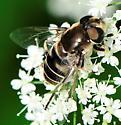 Syrphid Fly Eristalis dimidiata - Eristalis dimidiata - female