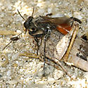 Sphecid Wasp possibly Prionyx with Pallidwing Grasshopper - Prionyx