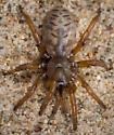 Aptostichus atomarius - female