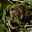 Lovelandy bee - Bombus kirbiellus - female