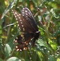 Swallowtail - Papilio polyxenes - male - female