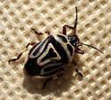 black and white bug - Perillus bioculatus
