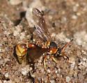 Eumenes Wasp - Eumenes aureus - female