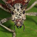Sawyer covered in mites - Monochamus notatus