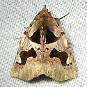 moth - Athyrma fakahatchee